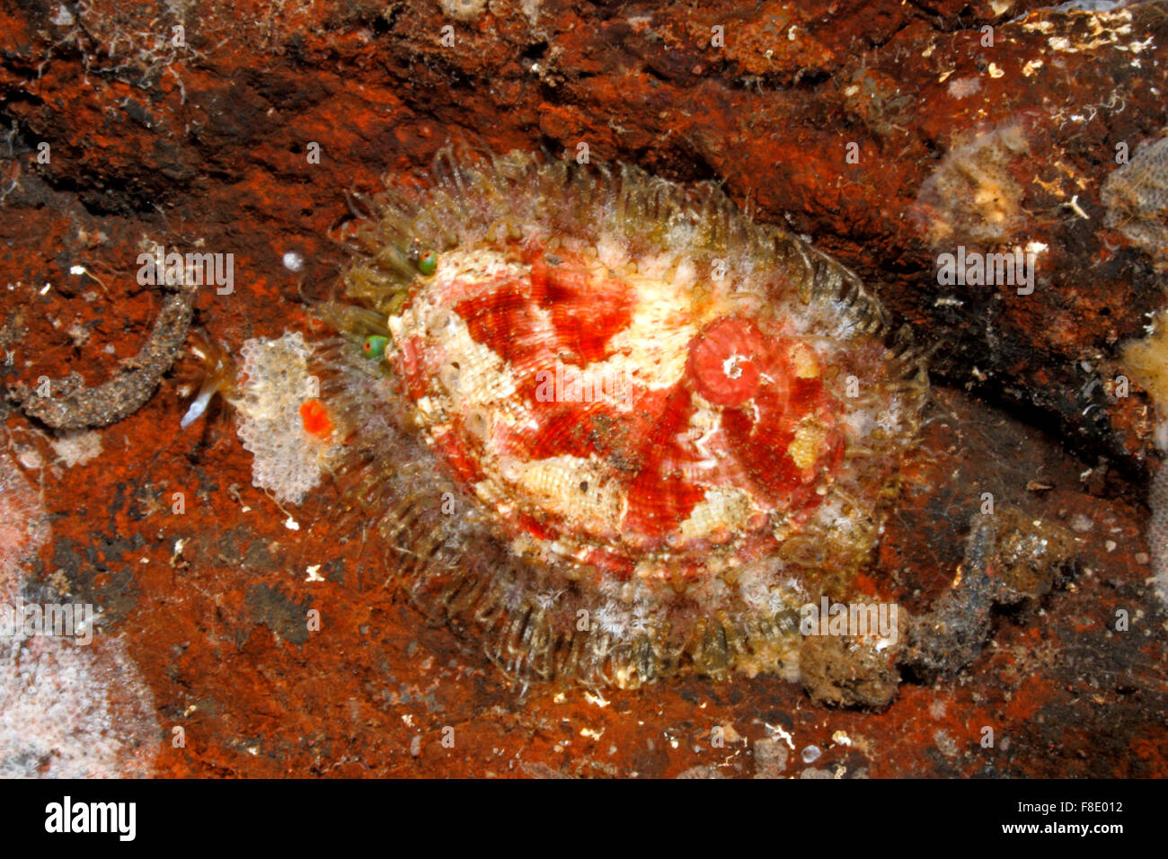 lovely-abalone-shell-haliotis-clathrata-tulamben-bali-indonesia-bali-F8E012.jpg