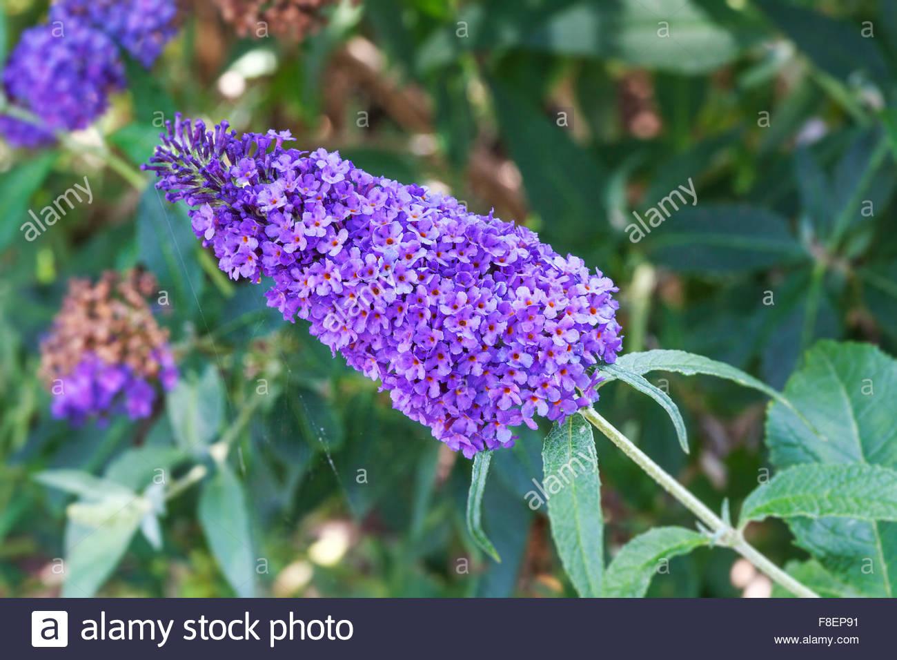 Buddleja davidii Buzz 'Sky Blue' - Summer flowering - Stock Image