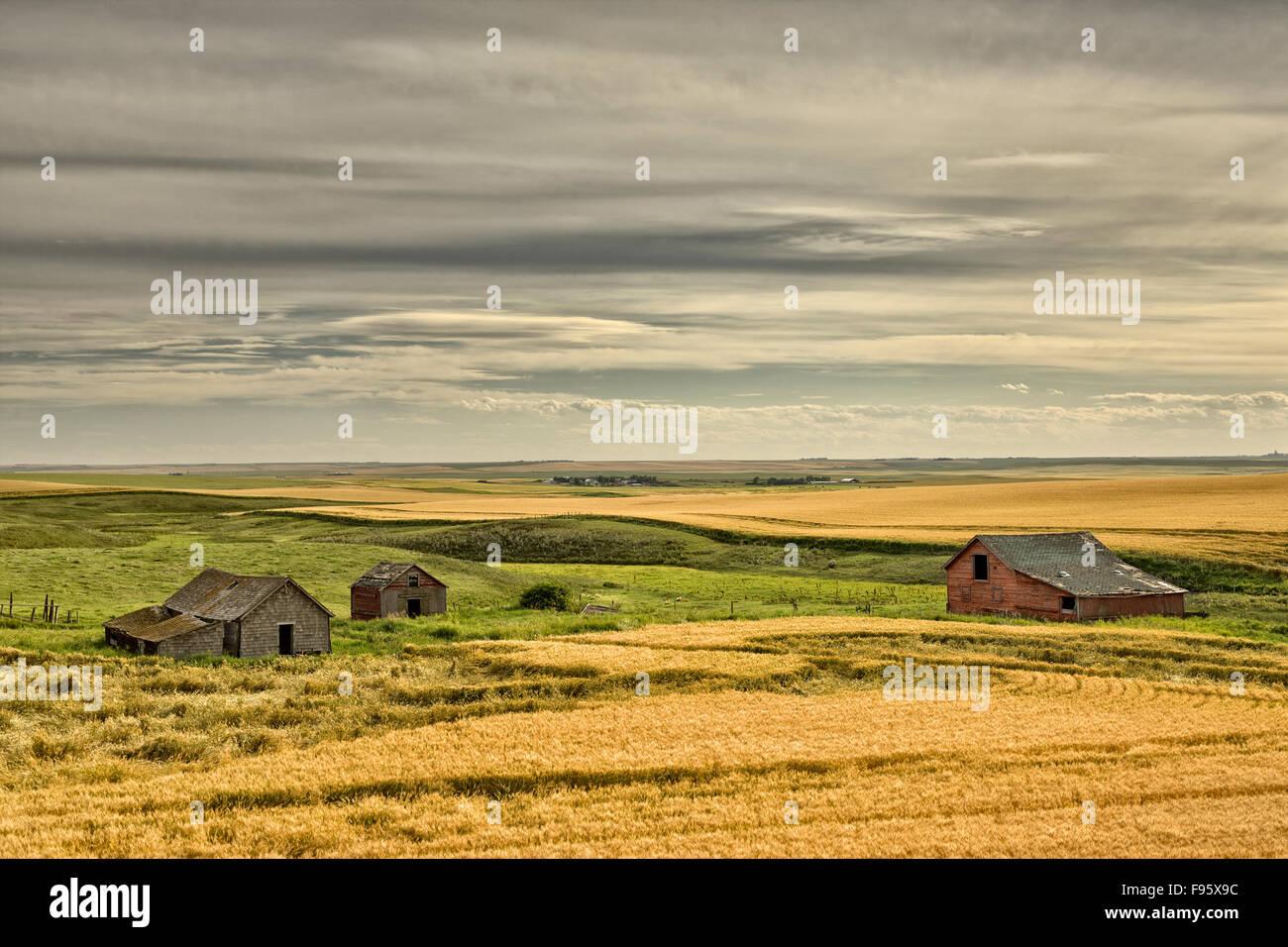 Old buidlings in barley cropland near Trochu, Alberta - Stock Image