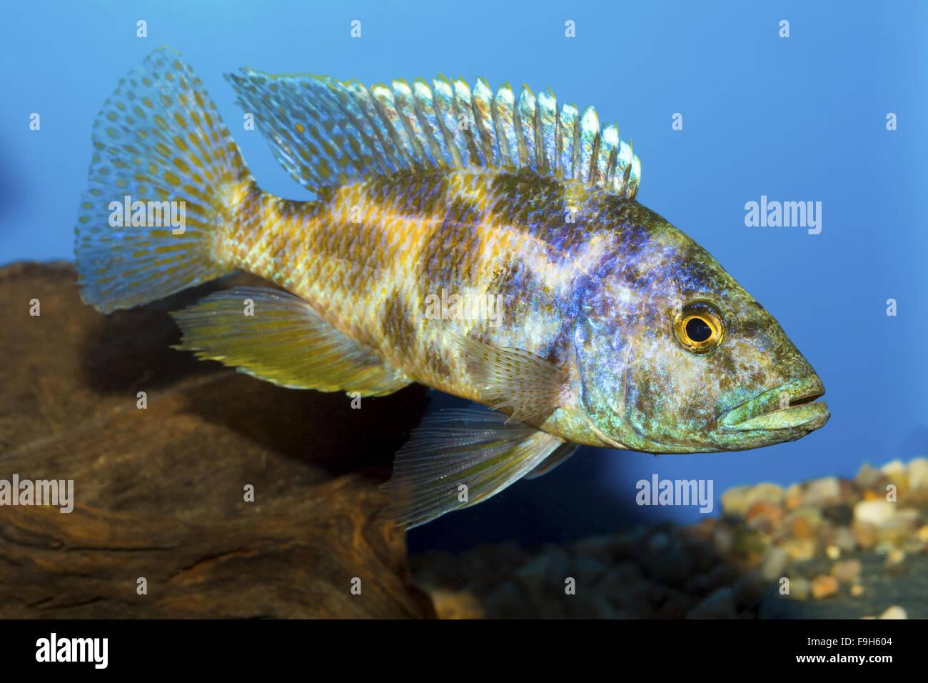 Cichlid fish from genus Nimbochromis in the aquarium Stock Photo