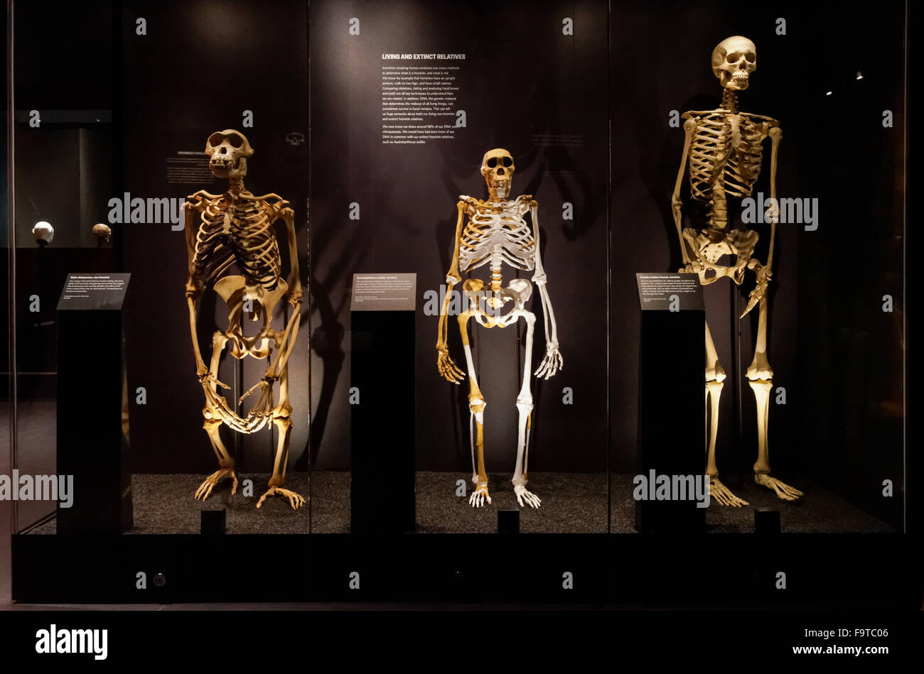 Human evolution gallery at the Natural History Museum in London ...