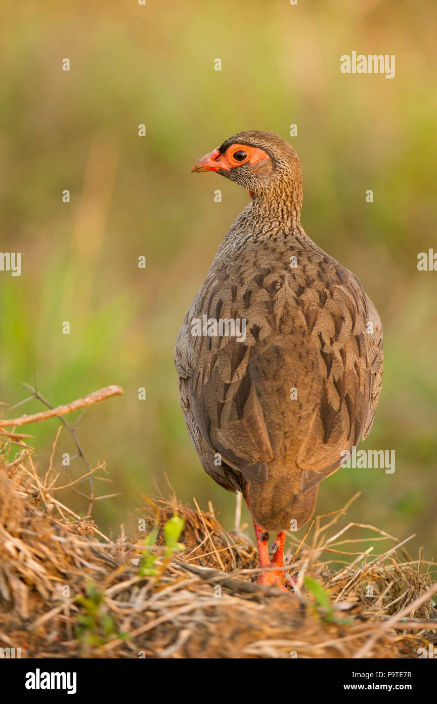 Red-necked spurfowl (Pternistis afer), Lake Mburo National Park, Uganda - Stock Image