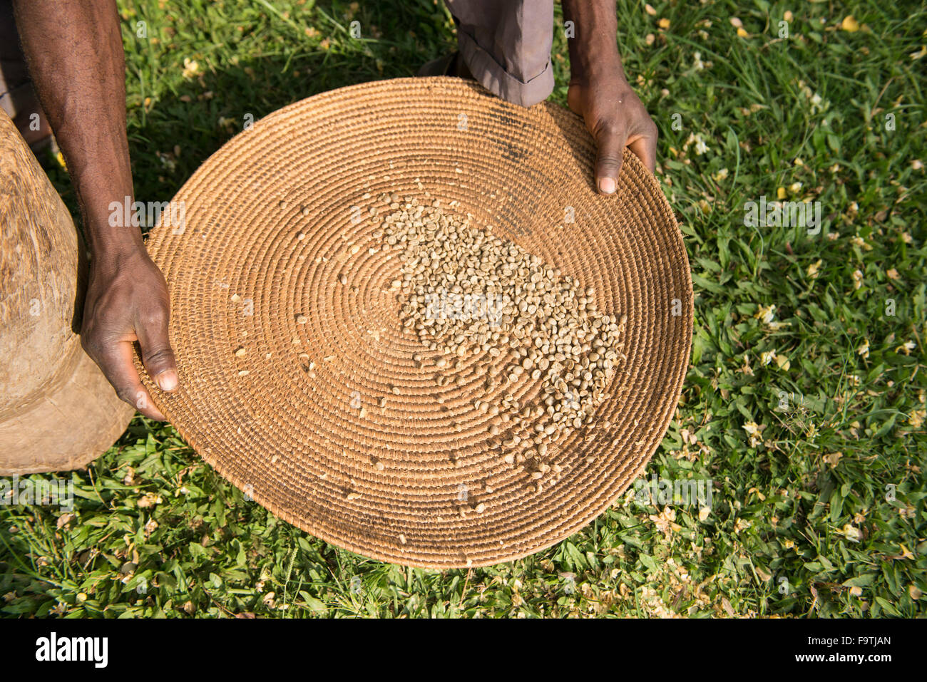 Coffee beans, Omwani Women's Coffee Cooperative, Uganda - Stock Image