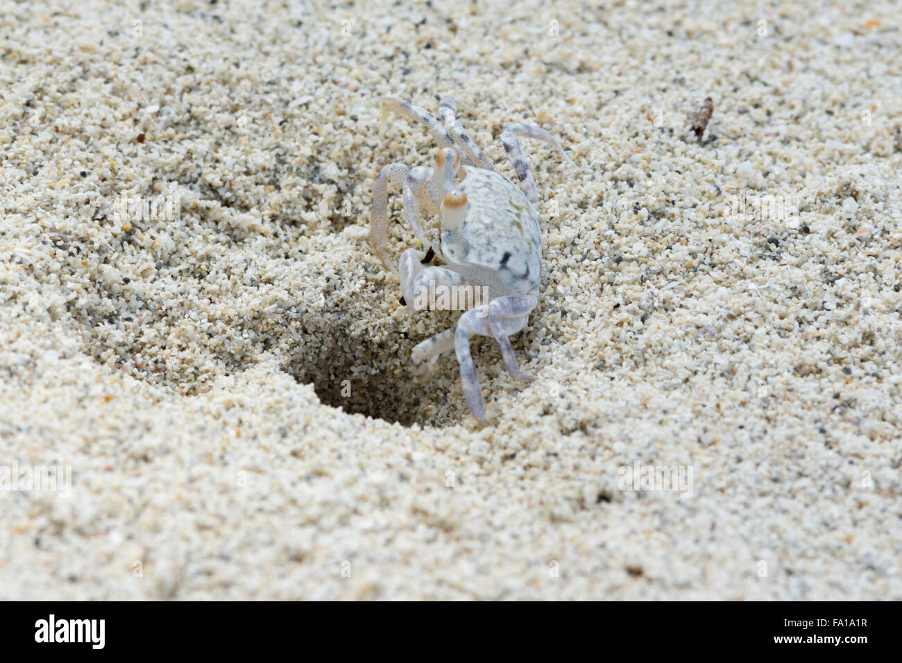 a-ghost-crab-digging-its-burrow-on-a-bea
