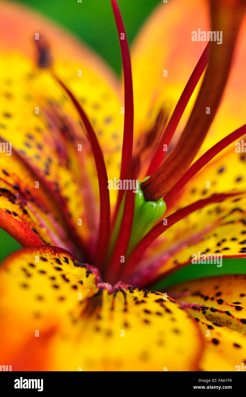 Vivid Orange And Yellow Lily With Red Spots On The Petals A Stock