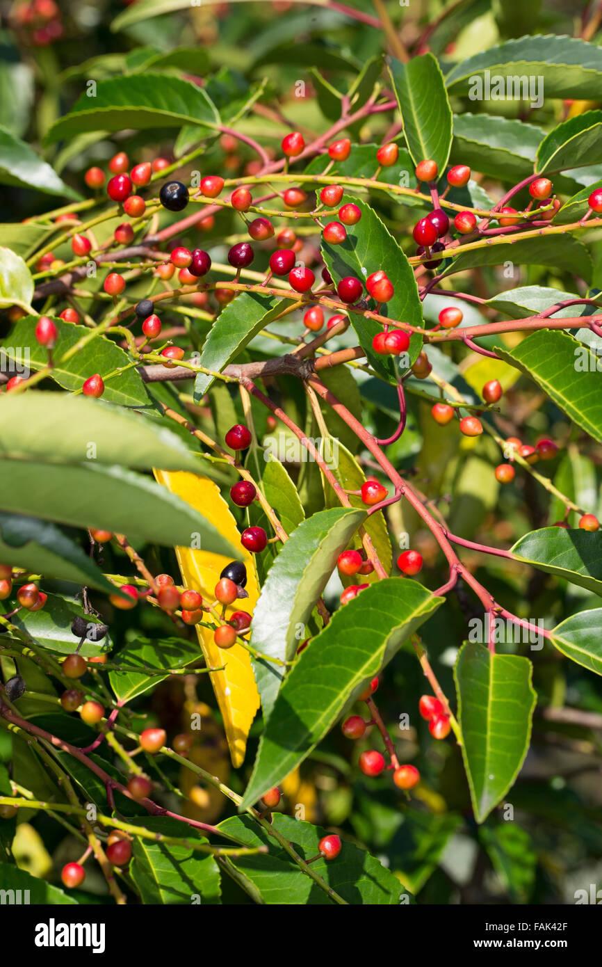 Portugal laurel fruit portugiesische lorbeer kirsche stock photo 92618695 alamy - Portugiesische mobel ...