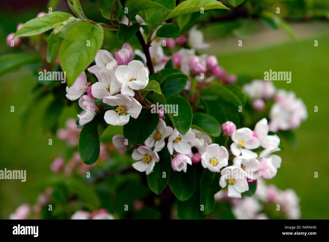Crab Apple Blossom White Pink Flower Flowers Flowering Floriferous