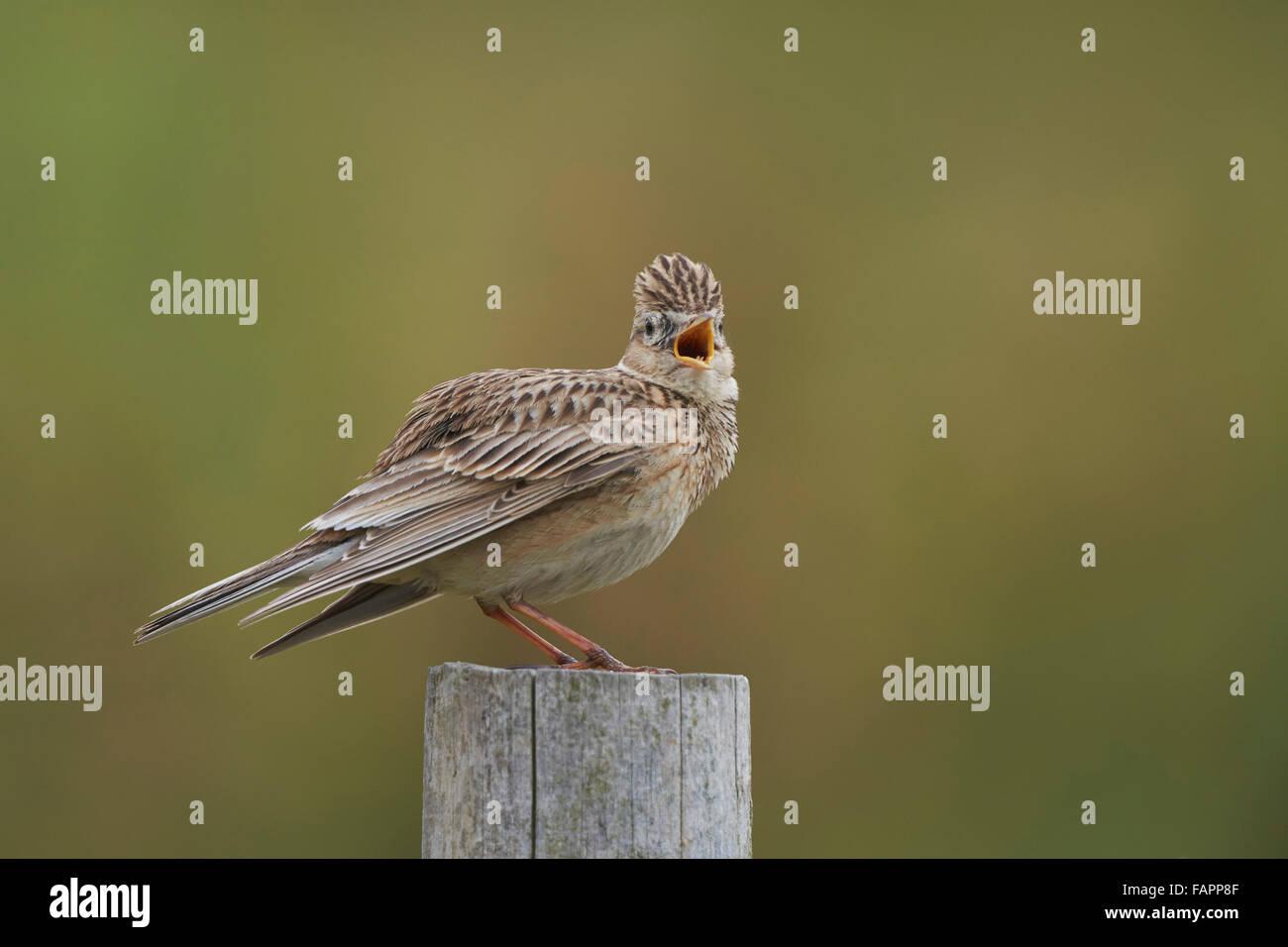 Skylark Alauda arvensis, adult male singing from post,Nottinghamshire,UK - Stock Image