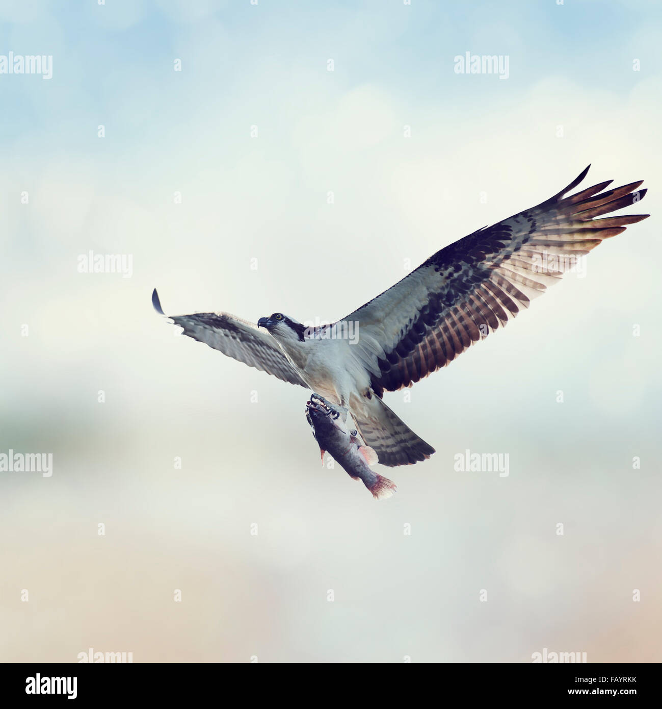 Osprey with Fish in Flight - Stock Image