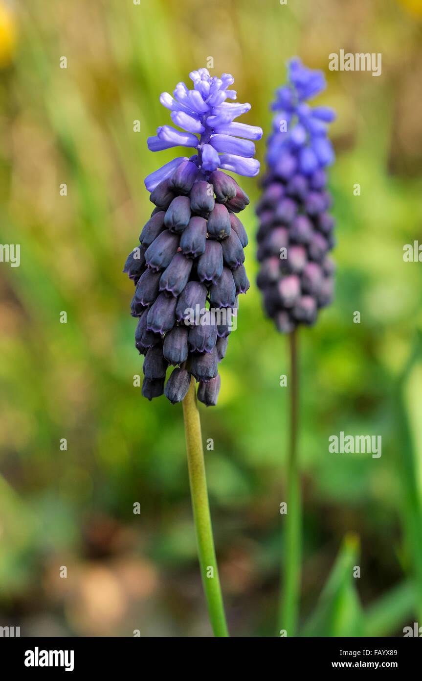 Muscari latifolium a small spring flowering bulb with two toned a small spring flowering bulb with two toned blue flowers mightylinksfo Gallery