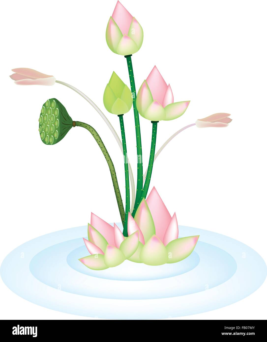 Beautiful flower an illustration bunch of pink lotus flower or beautiful flower an illustration bunch of pink lotus flower or water lily and lotus seed pods on blue water izmirmasajfo