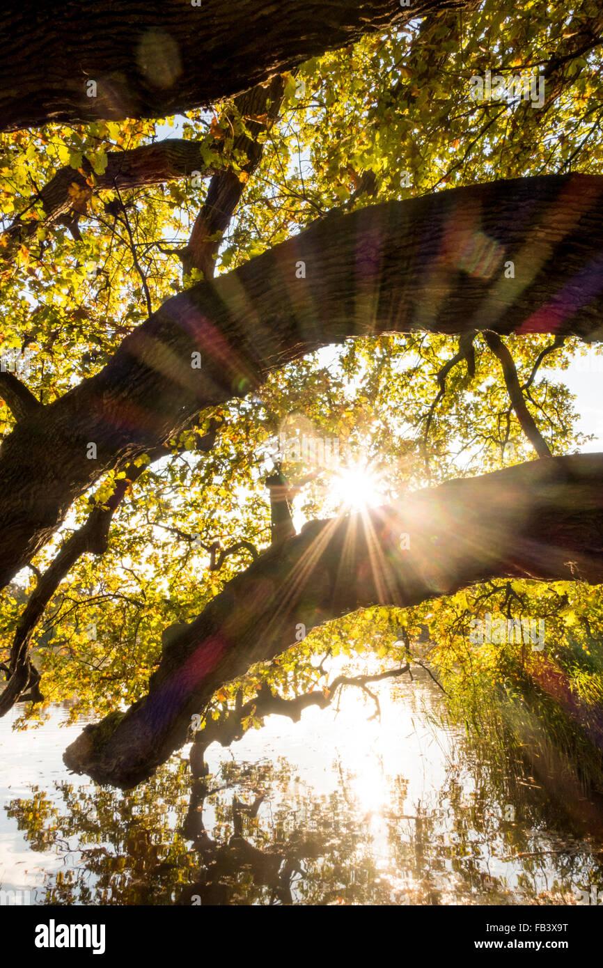 Oak Tree (Quercus sp.), UNESCO World Heritage Site, Landscape Garden ...