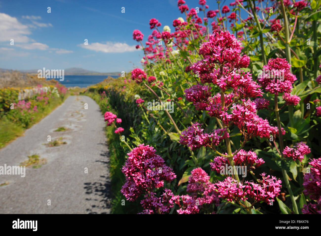 Red Valerian Centranthus - Stock Image