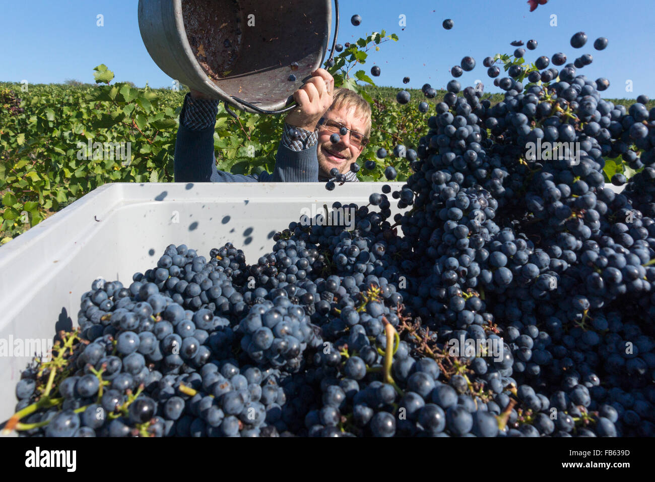 a-vintner-filling-a-container-with-grape