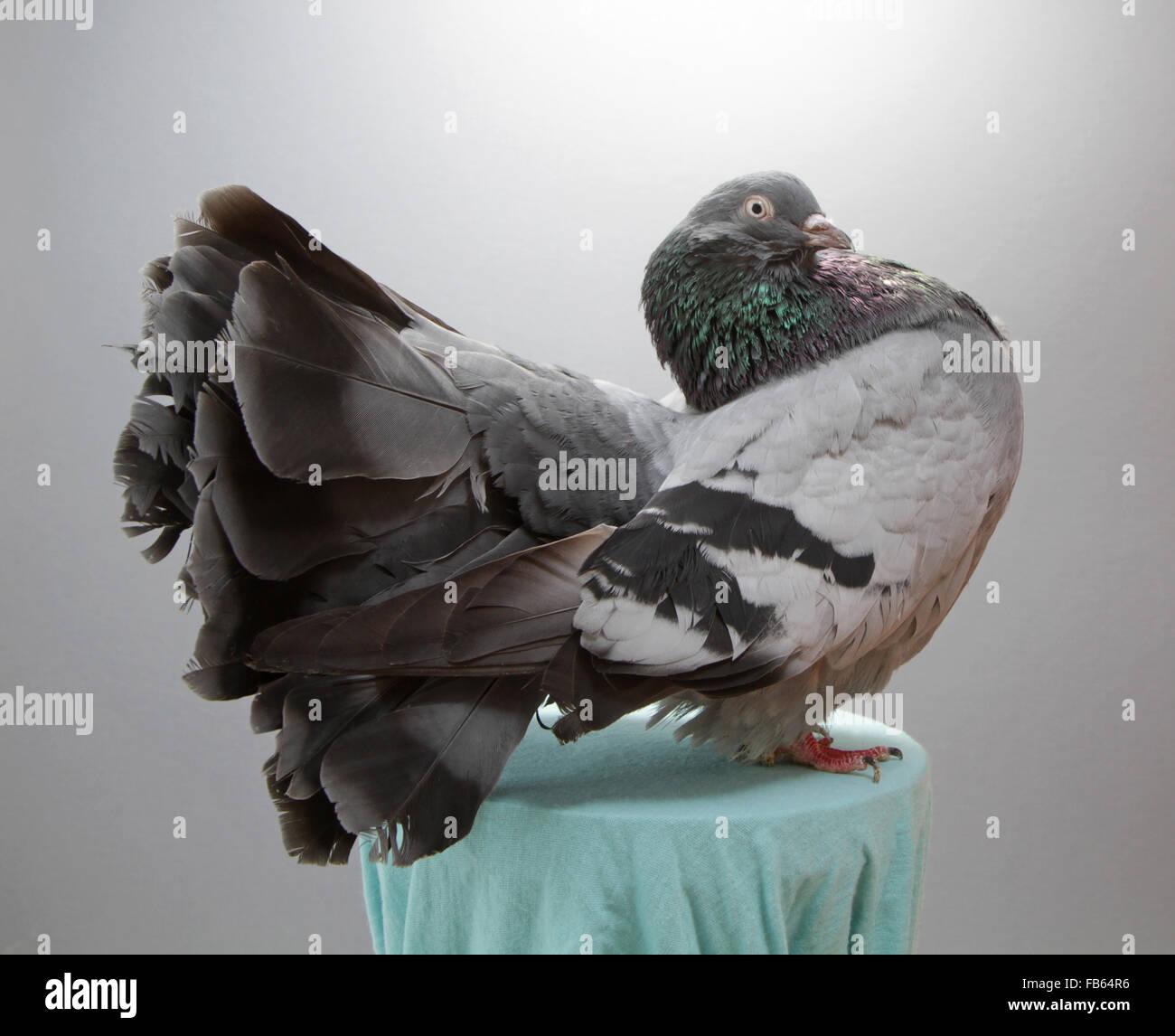 e122a95e8d1 A champion fantail pigeon