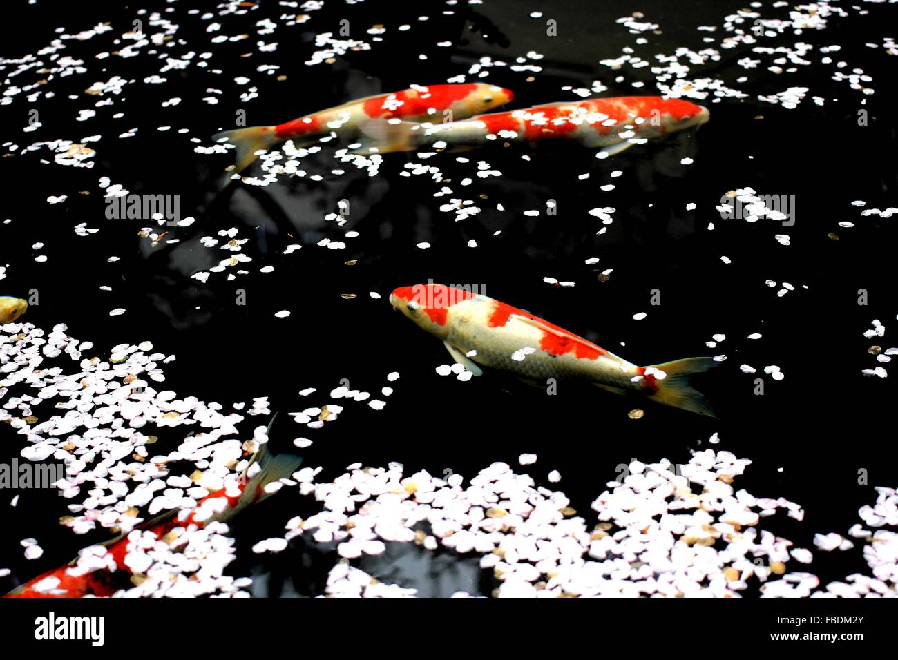 Blossom Petals And Fish By Water Surface - Stock Image