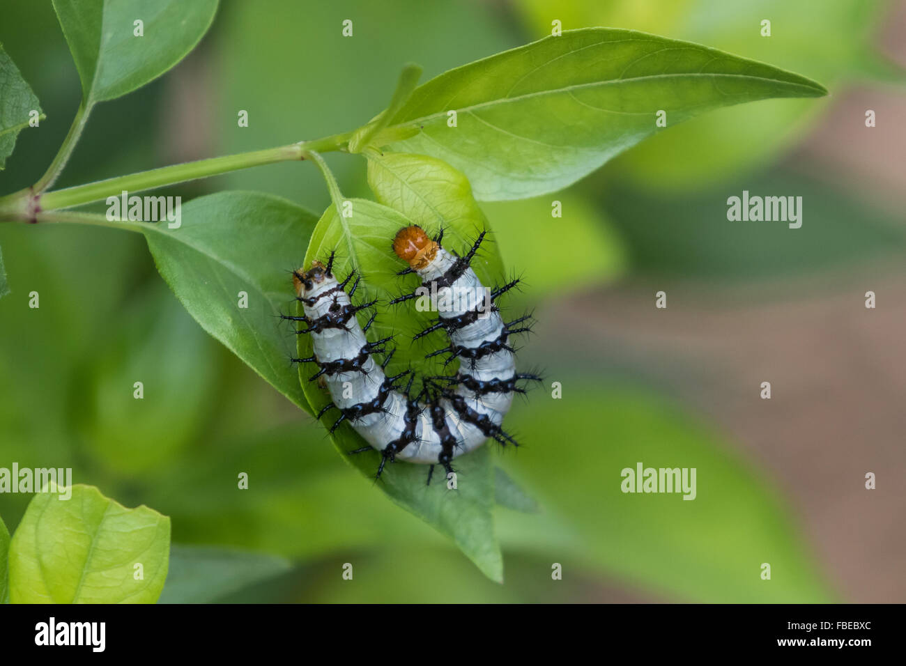 A Crimson Patch, Chlosyne janais, caterpillar feeding on acanthus leaves. - Stock Image