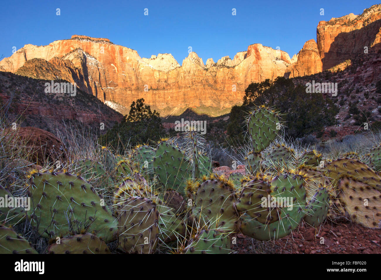 Cactus and mountains Zion National Park - Stock Image