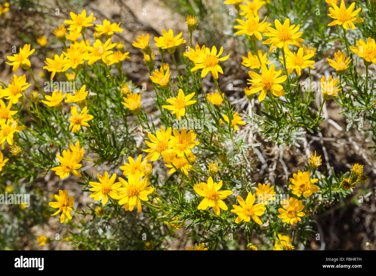 A Desert Shrub With Yellow Flowers In Joshua Tree National Park