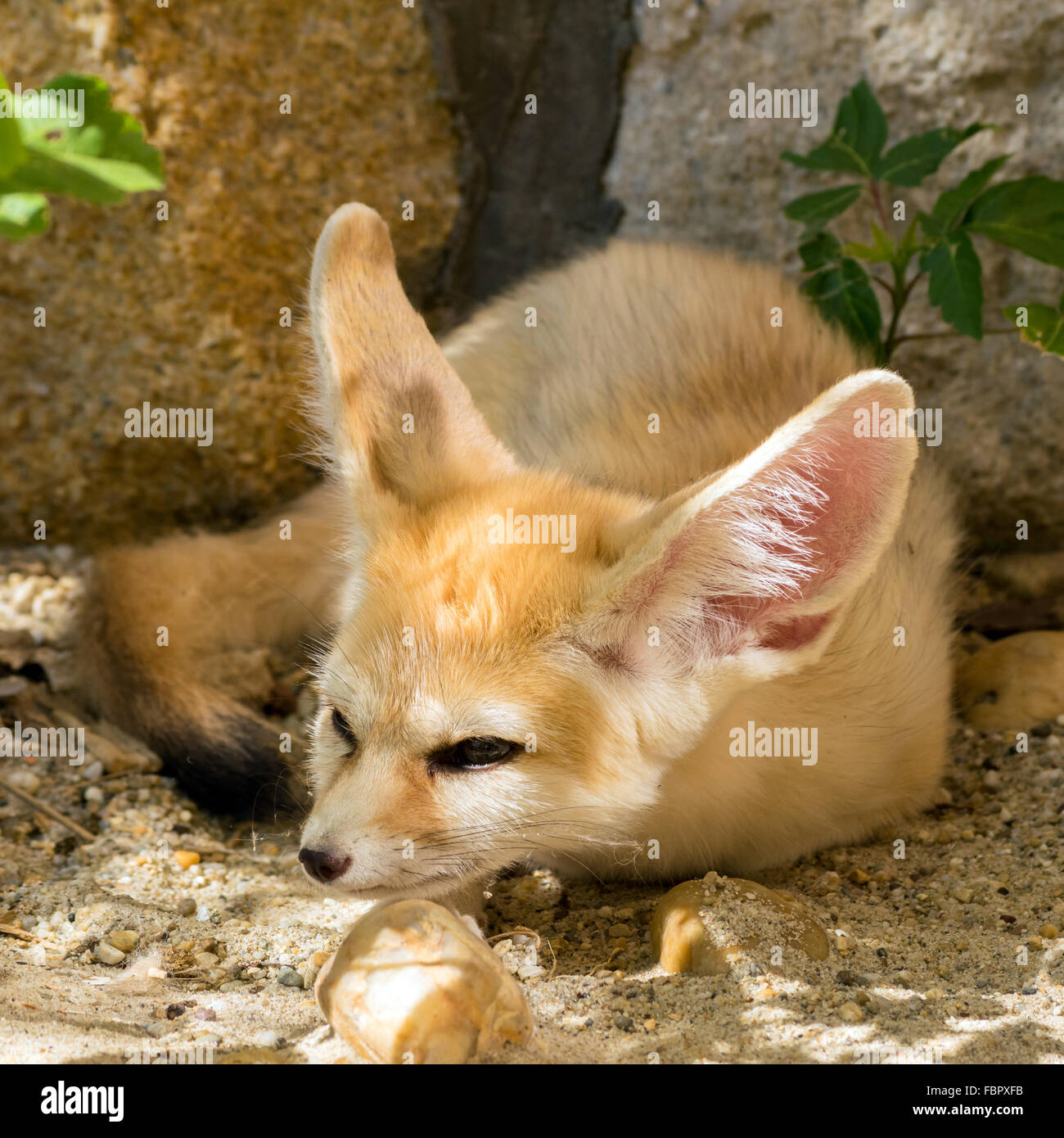 Fennec fox (Vulpes zerda) with a cunning smile - Stock Image