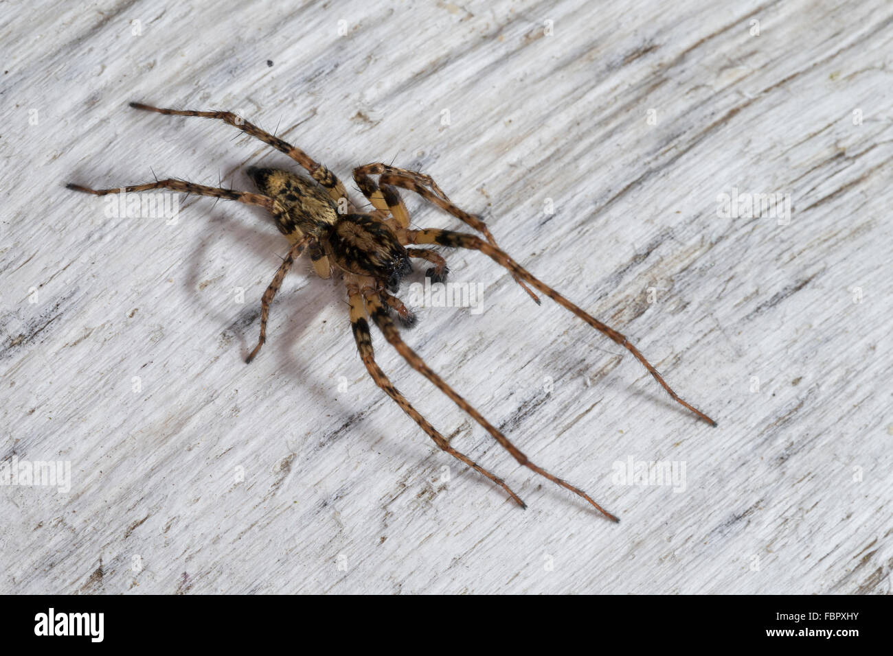 Buzzing Spider, anyphaenid sac spider, male, Vierfleck-Zartspinne, Vierfleckzartspinne, Zartspinne, Männl., - Stock Image