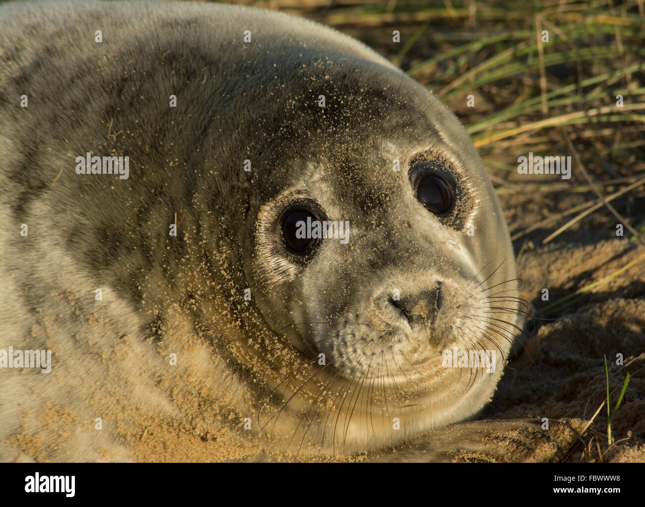 grey-seal-pup-on-horsey-beach-norfolk-uk-close-up-portrait-FBWWW8.jpg