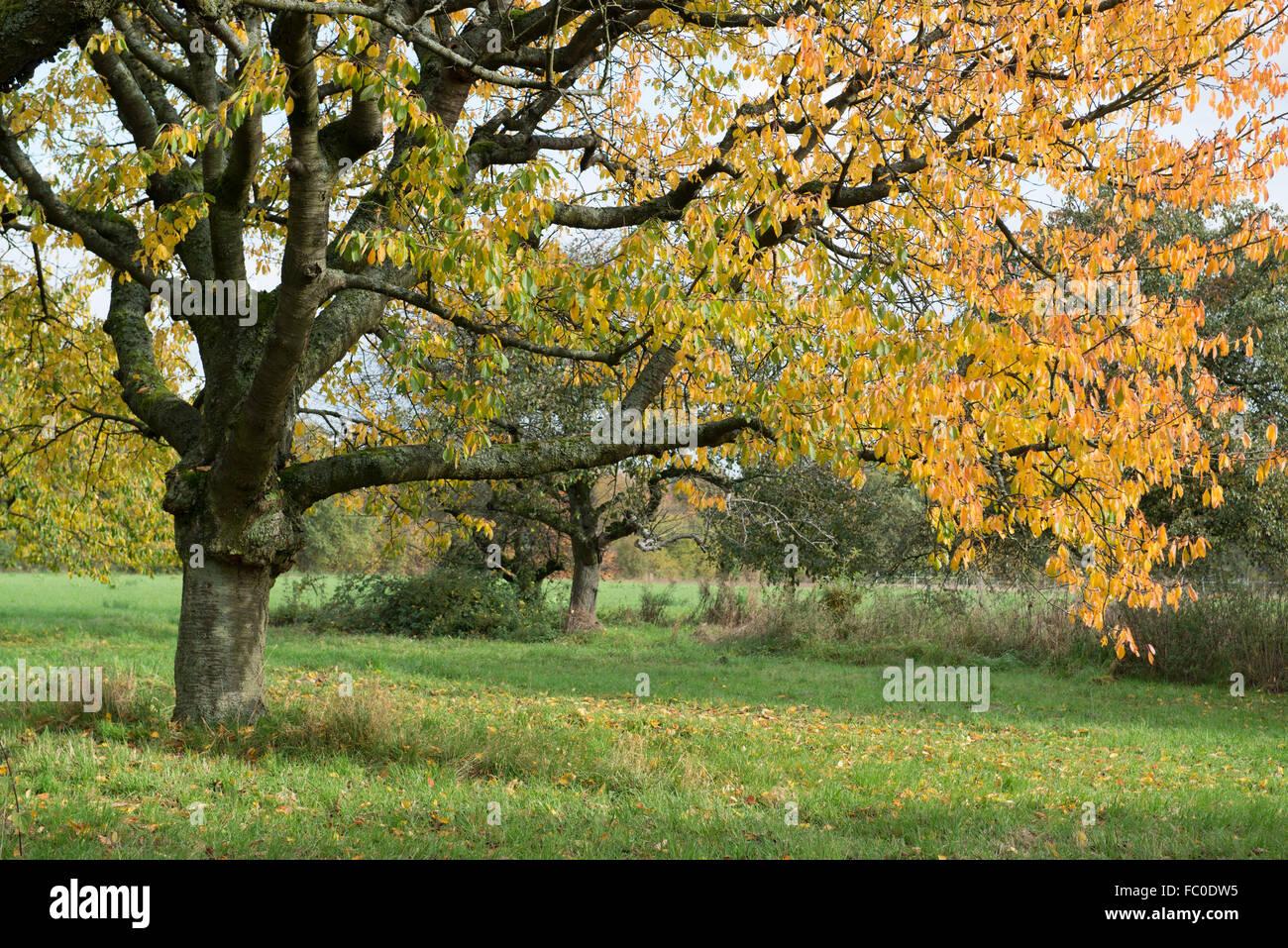 Cherry Tree In Autumn Stock Photos & Cherry Tree In Autumn Stock ...