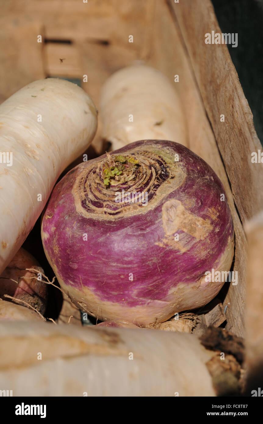 Turnip - Stock Image
