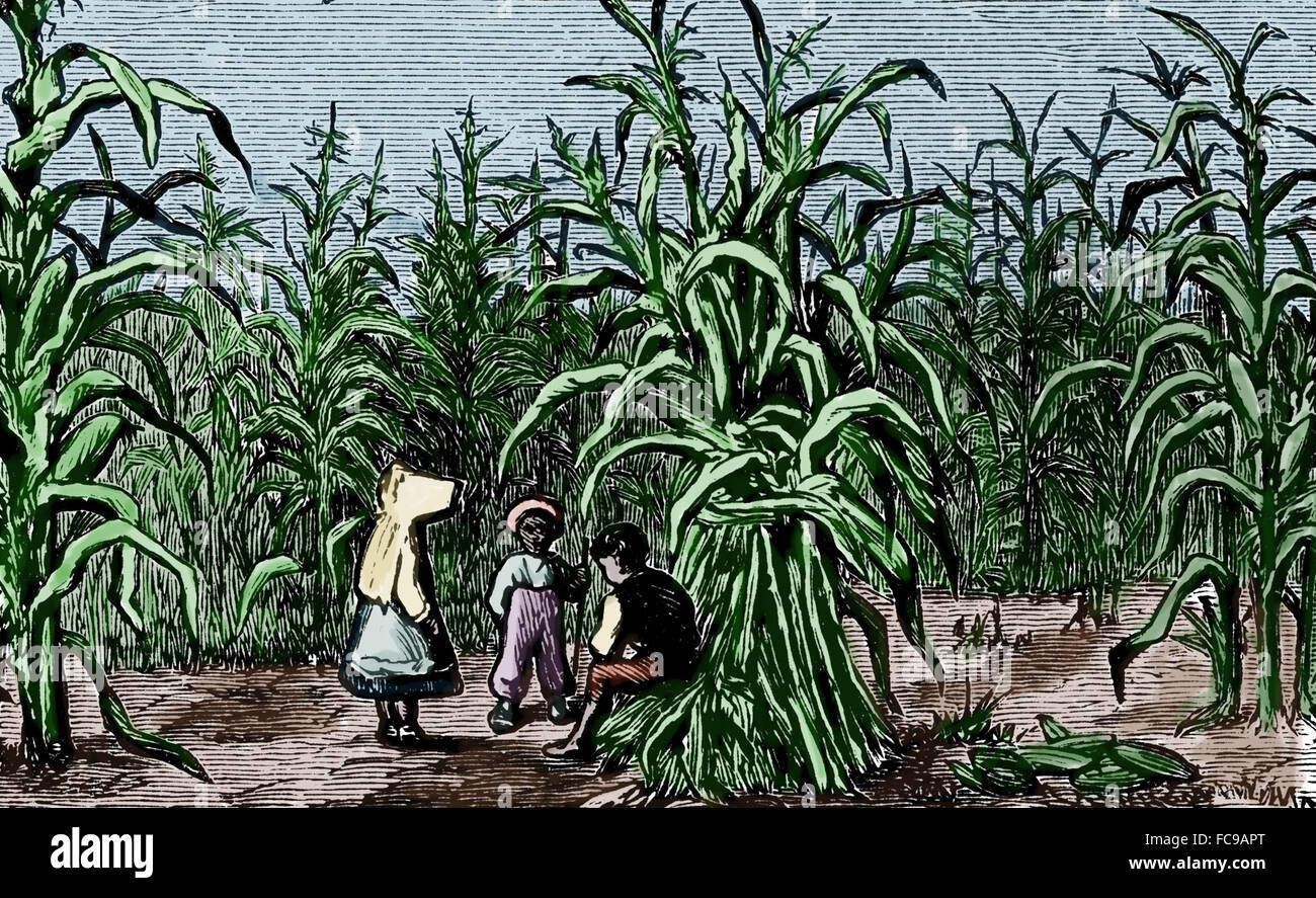 North America. Cultivation of sugarcane. Children. Engraving. 19th century. Color. - Stock Image