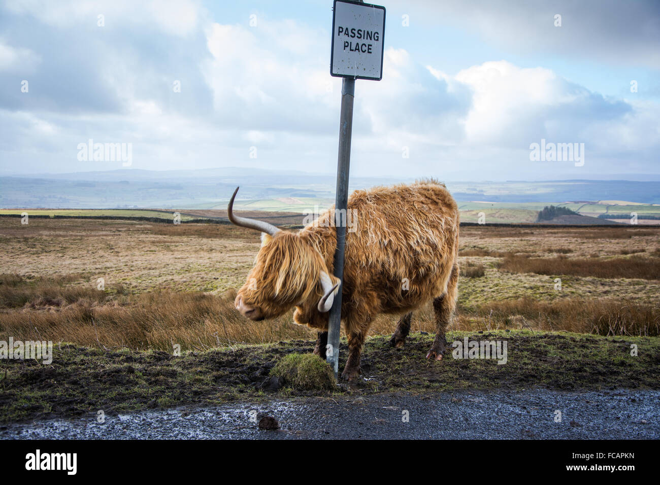 Highland Cow near Malham in the Yorkshire DalesStock Photo