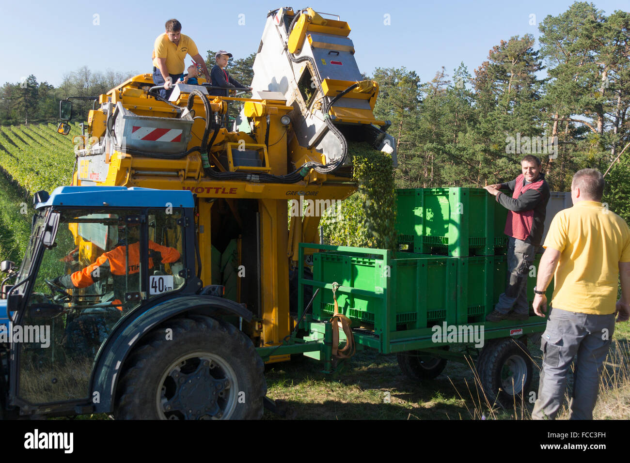 collecting-grapes-from-a-grape-combine-h