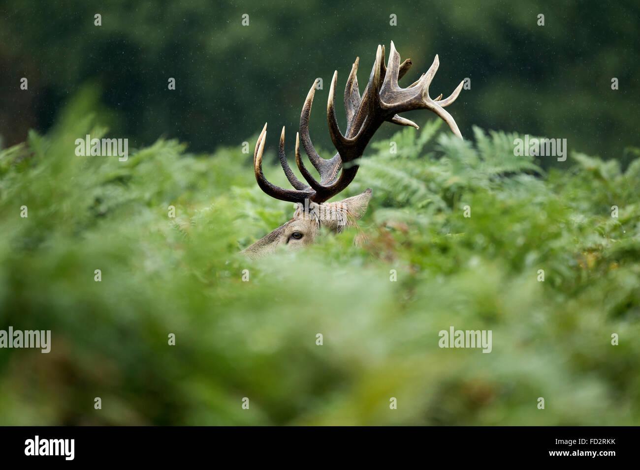 Red deer (Cervus elaphus) stag in bracken during the rutting season - Stock Image