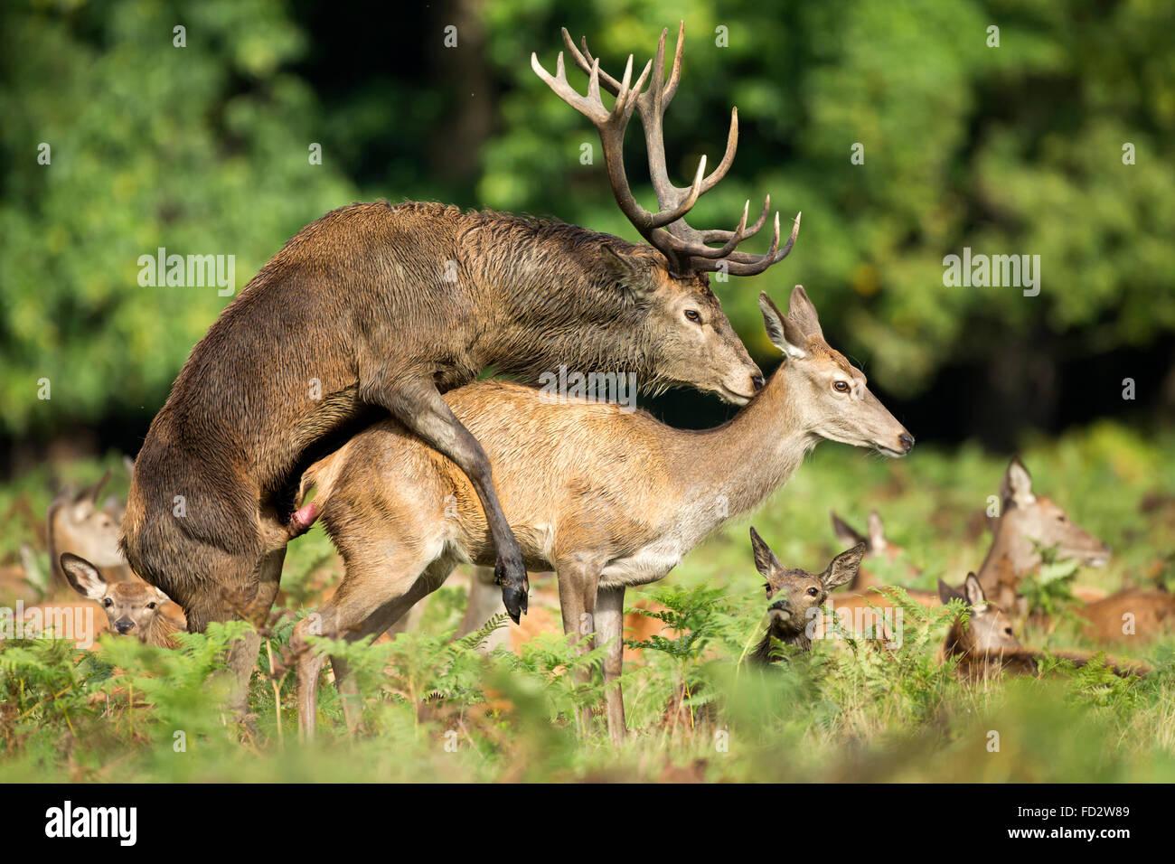Red deer (Cervus elaphus) mating during the rutting season - Stock Image