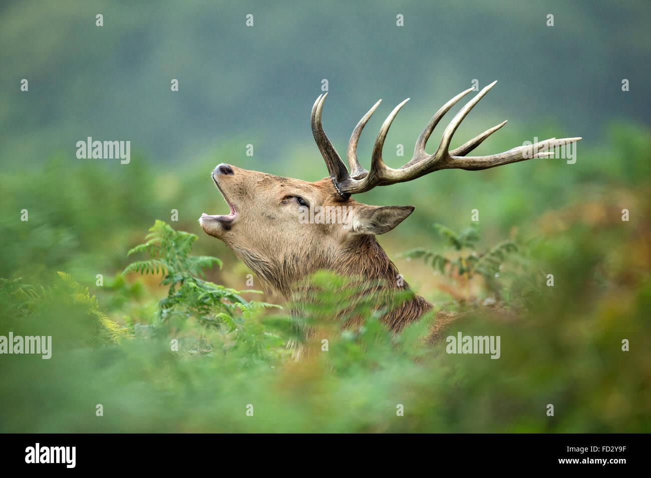 Red deer (Cervus elaphus) stag roaring in bracken during the rutting season - Stock Image