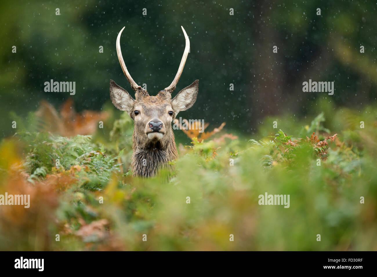 Young red deer (Cervus elaphus) stag amongst bracken in rain during the rutting season - Stock Image