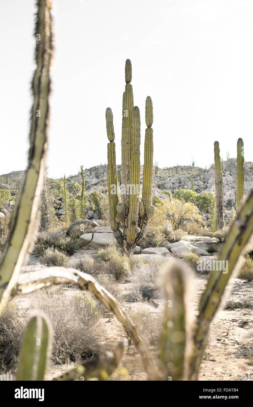 Cactus in Baja California, Mexico - Stock Image
