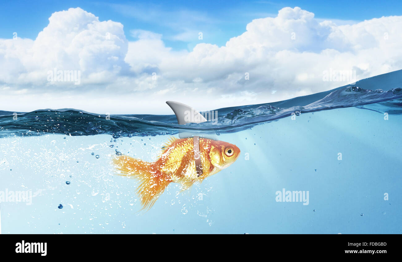 Little Goldfish | Little Goldfish In Water Wearing Shark Fin To Scare Predators Stock