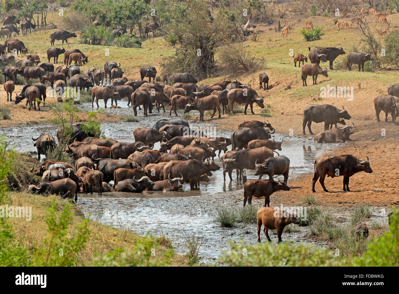 Large herd of African buffaloes (Syncerus caffer) at a river, Kruger National Park, South Africa - Stock Image