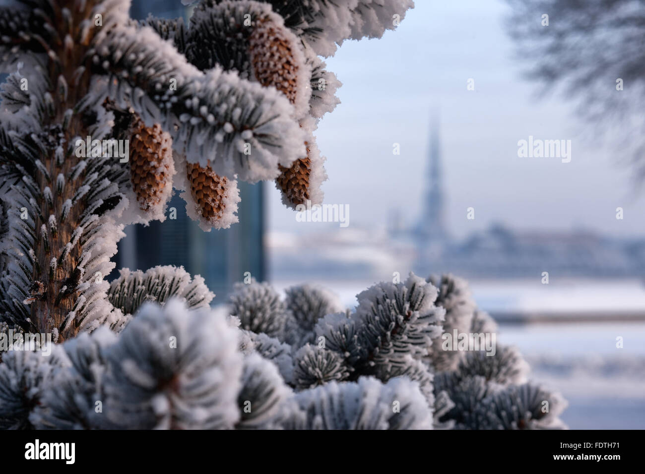 Christmas tree with brown cones in hoarfrost against the background a panorama of Riga on a sunny winter day - Stock Image