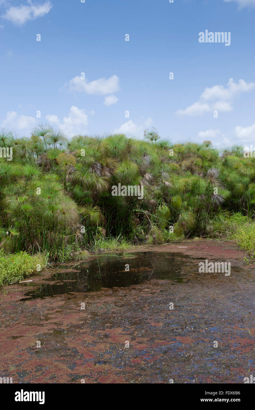Paparyus swamps in Uganda. - Stock Image