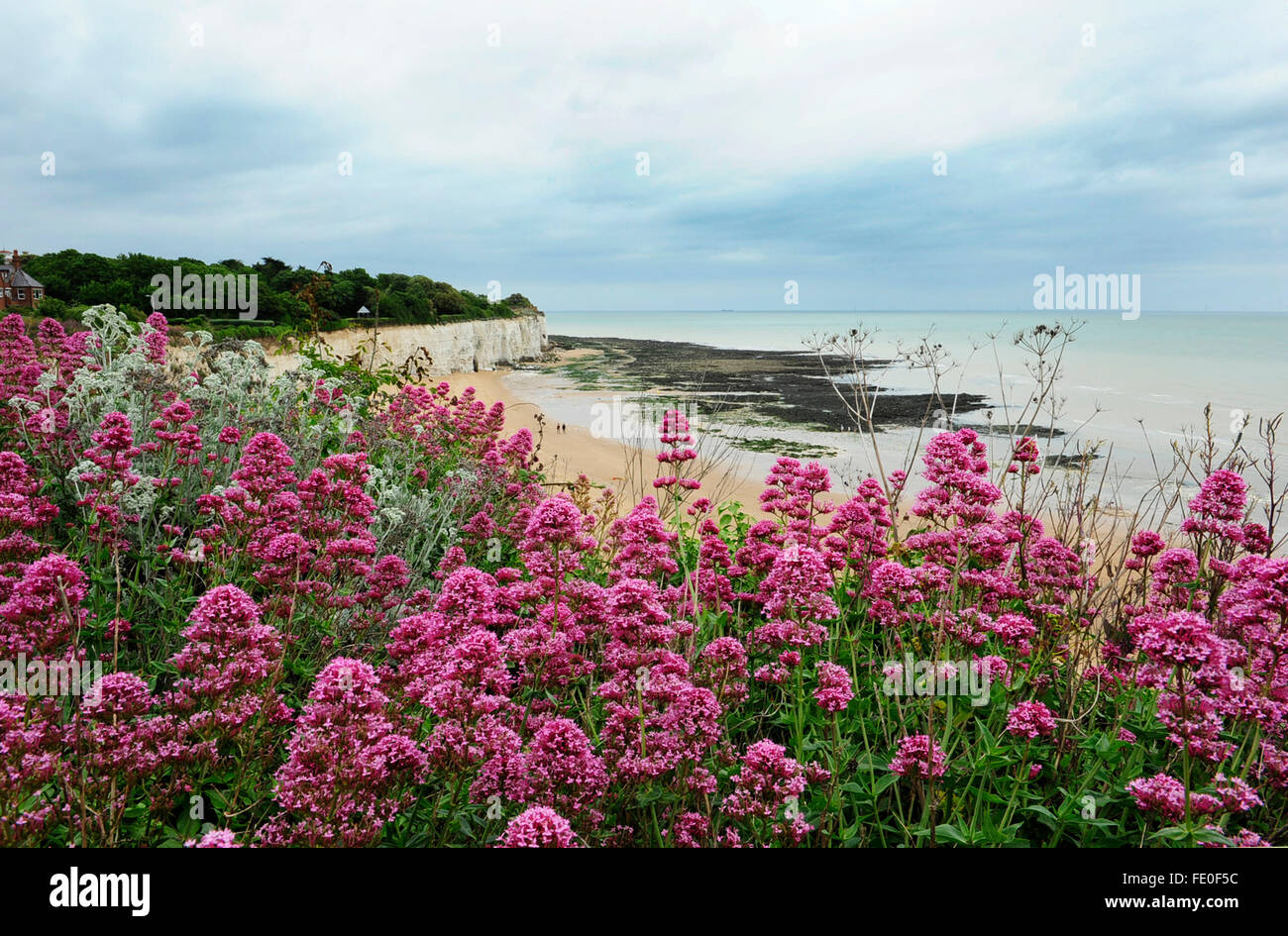 Red Valerian Flowers, Broadstairs Kent UK - Stock Image