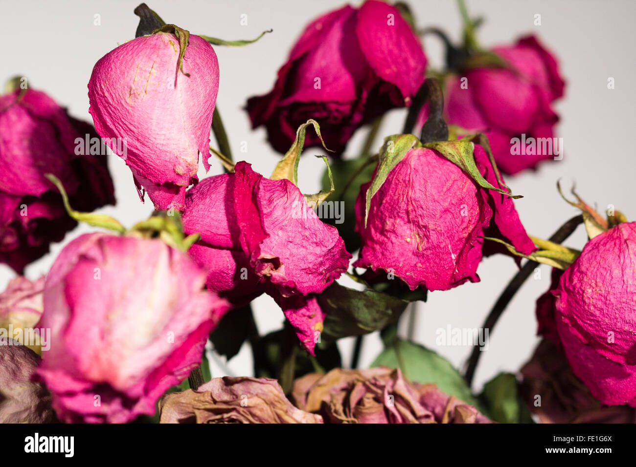Dead and dried red rose petals and stems - Stock Image