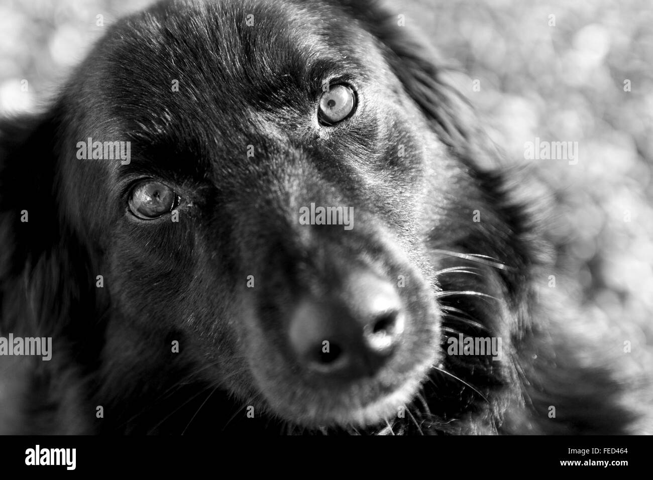 black-labradorcollie-cross-male-dog-FED464.jpg