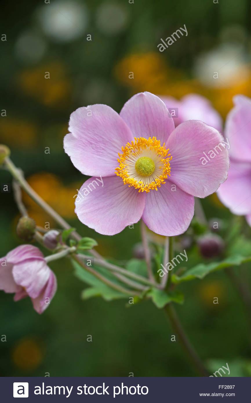 Anemone hupehensis 'September Charm' - Japanese anemone - Stock Image