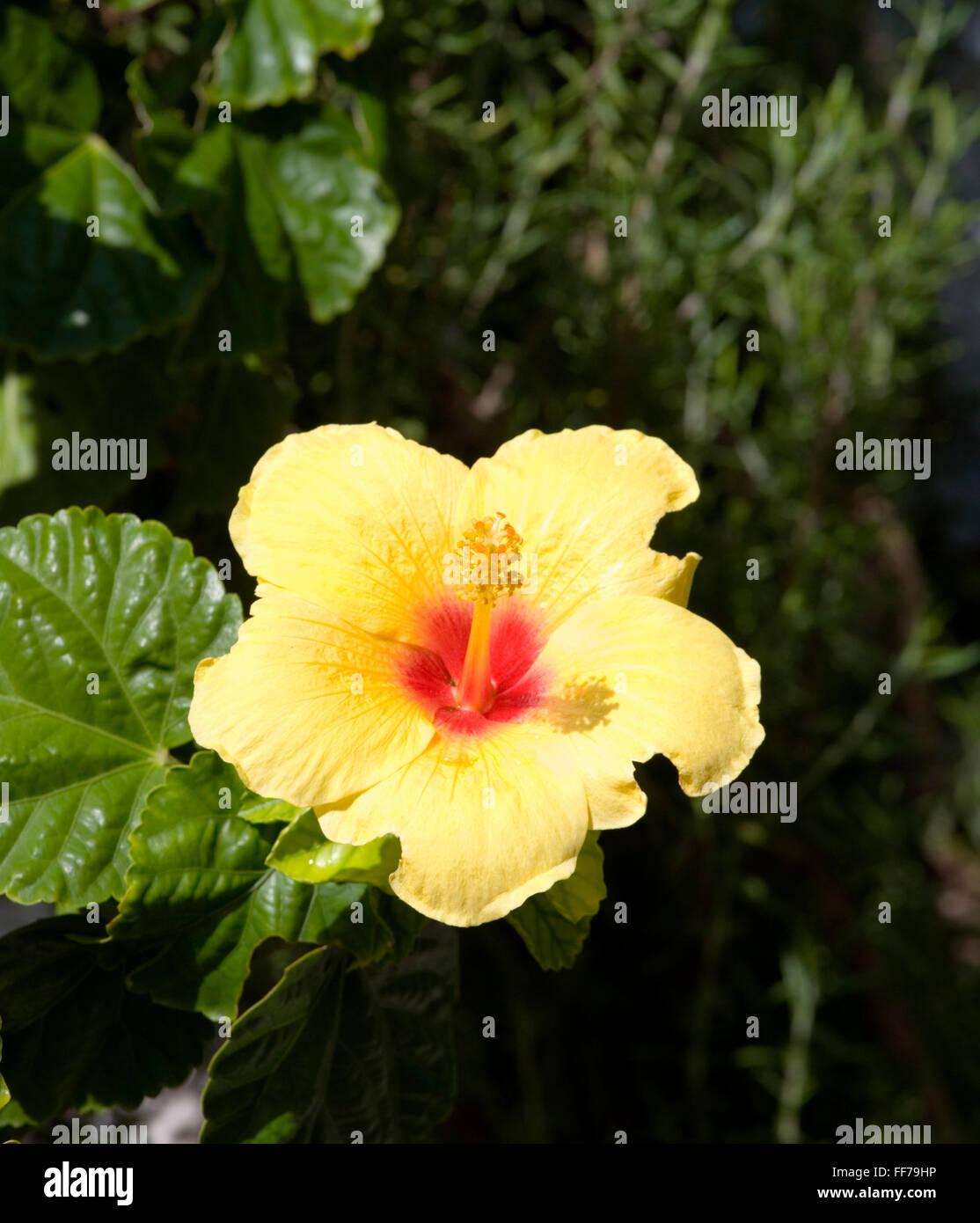 Gaios paxos ionian islands greece yellow flower of hibiscus gaios paxos ionian islands greece yellow flower of hibiscus rosa sinensis izmirmasajfo
