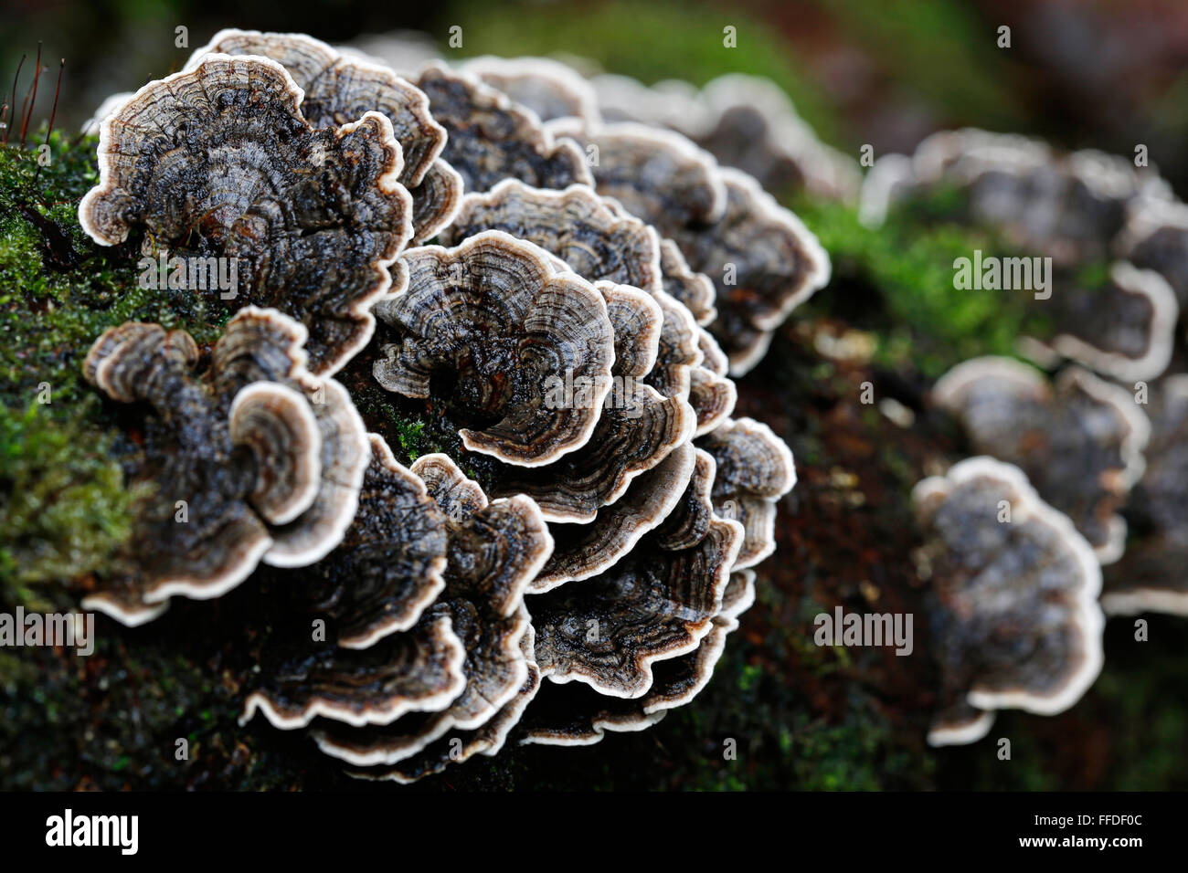 wet-turkey-tail-fungi-growing-on-a-woode