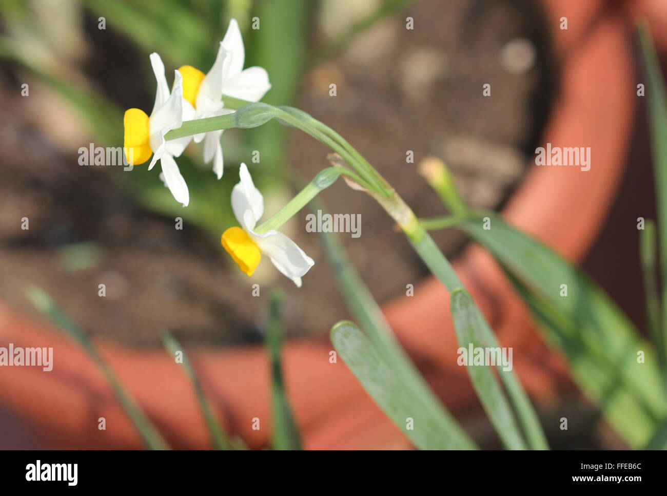 Narcissus Tazetta Bunch Flowered Narcissus Bulbous Perennial Stock