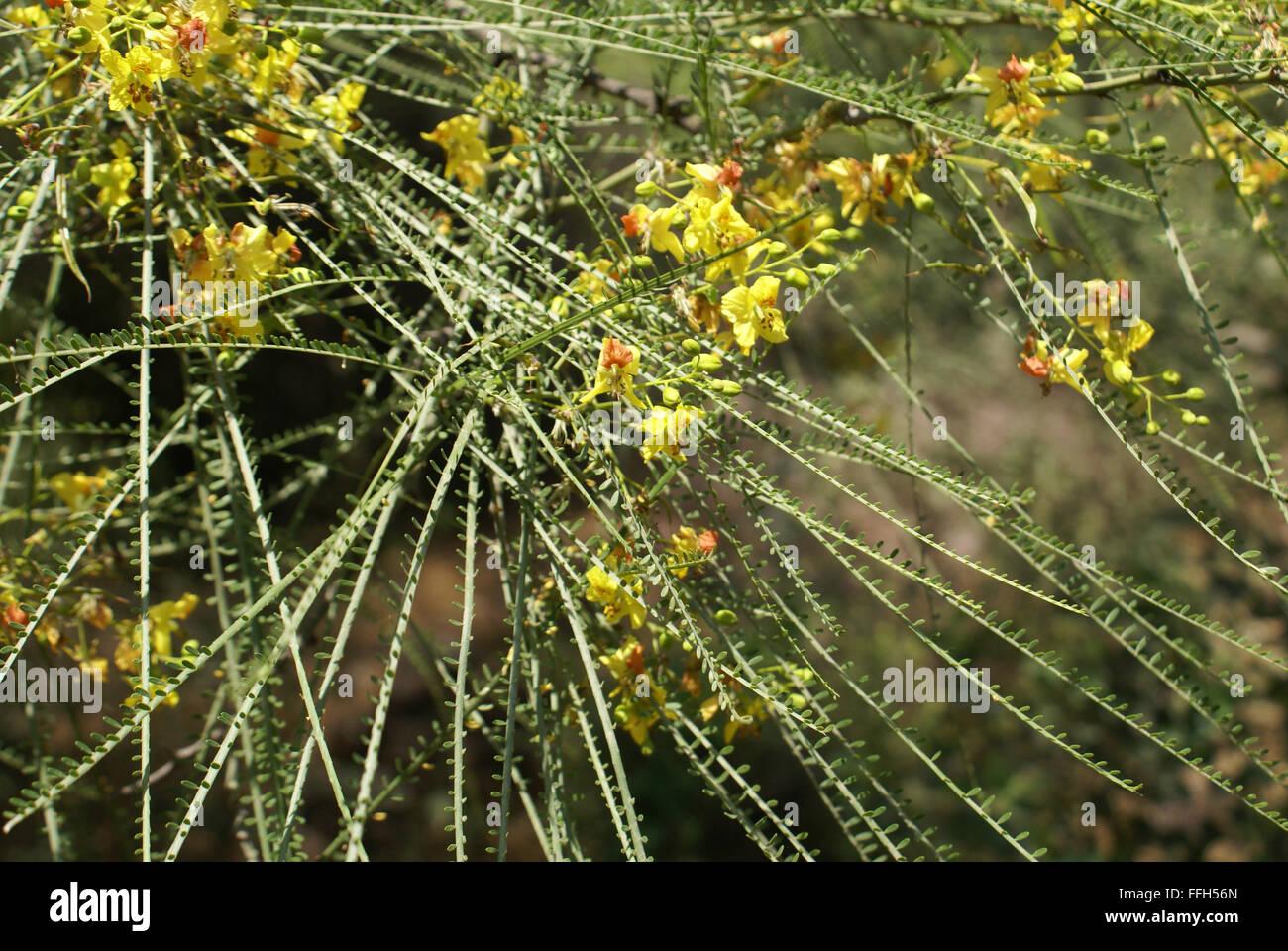 Parkinsonia Aculeata Palo Verde Spiny Shrub Or Small Tree With