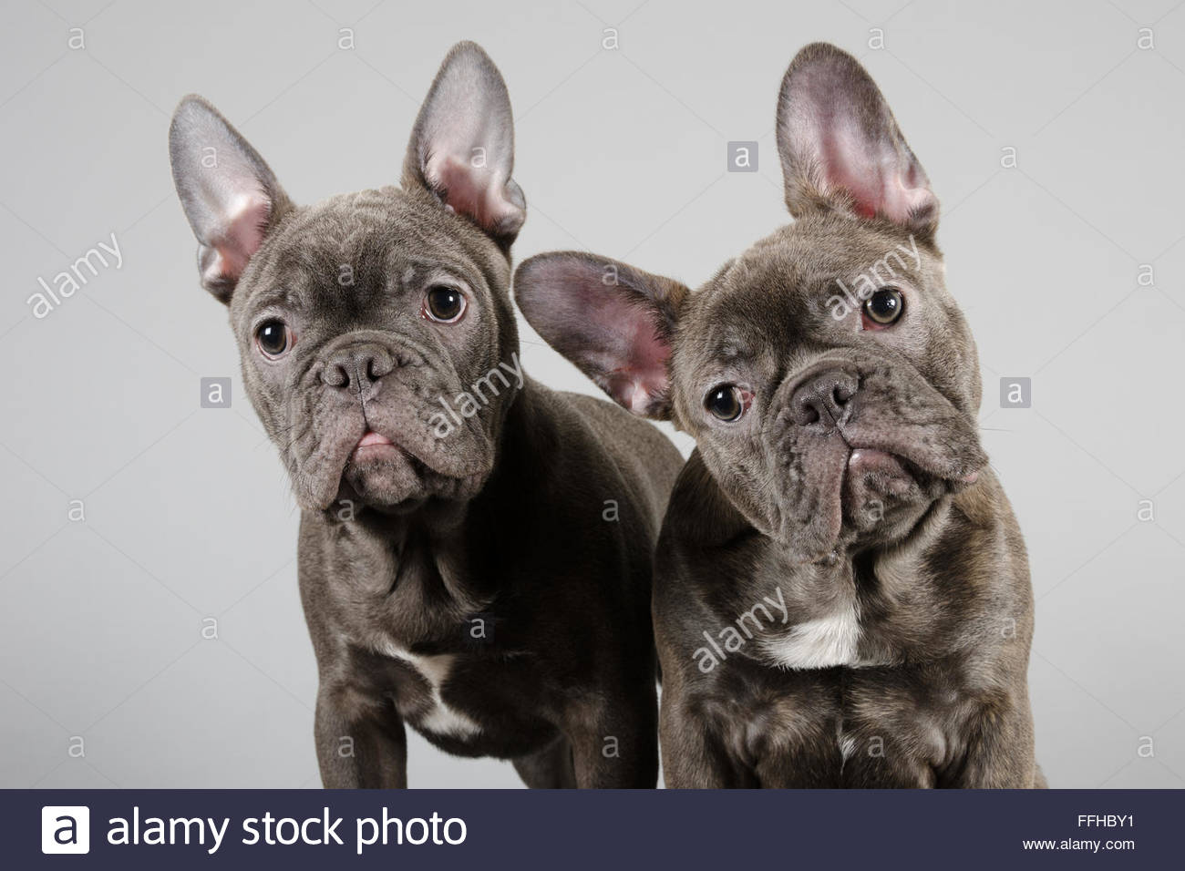 french-bulldog-pups-FFHBY1.jpg