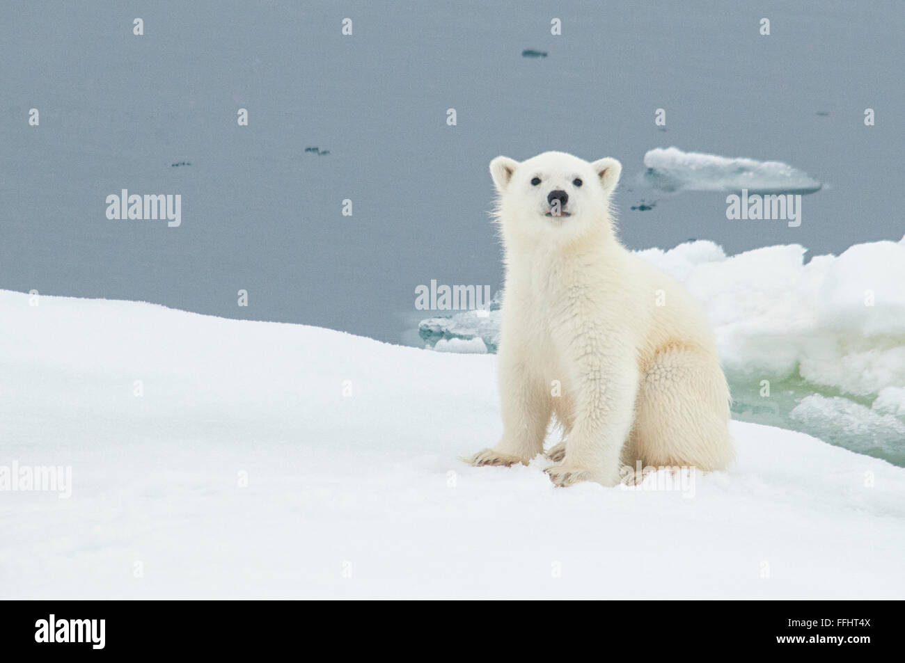 cute-little-polar-bear-cub-ursus-maritimus-sitting-on-an-ice-floe-FFHT4X.jpg